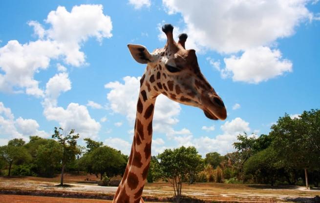miami-zoo-giraffe