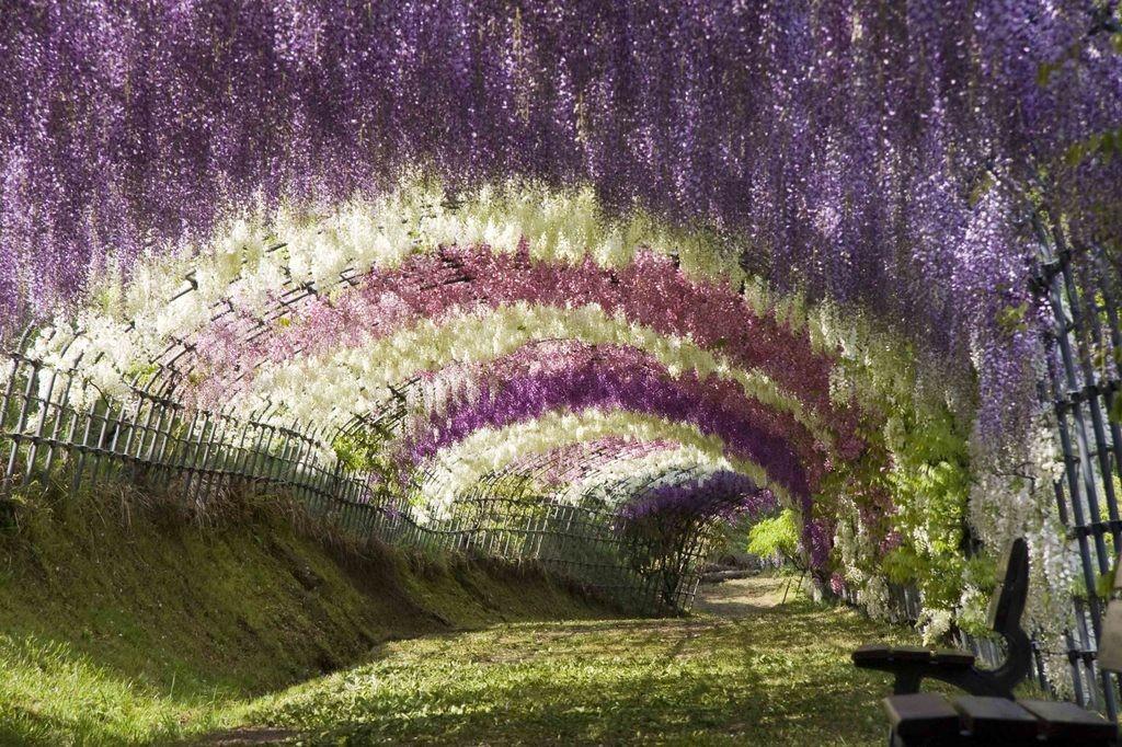 Япония, Туннель из глициний