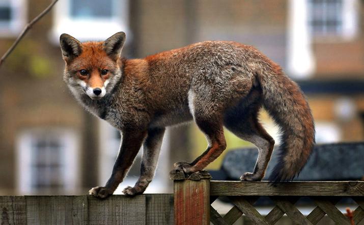 Городские-лисы