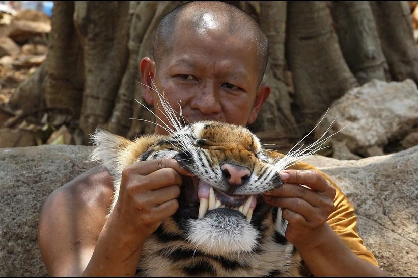 тигры3