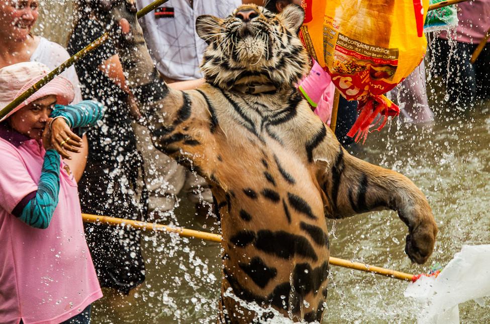 тигры4