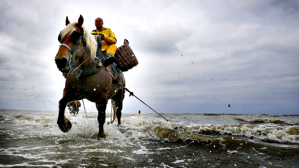 Belgian shrimp fisherman Vanbillemont rides a cart horse to haul
