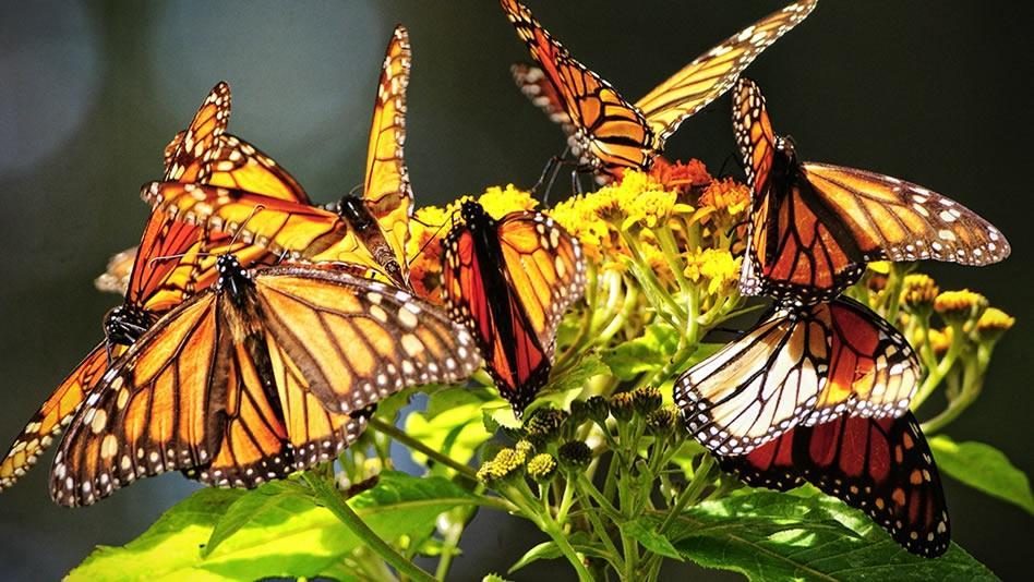 biosfernyiy_zapovednik_mariposa_monarka