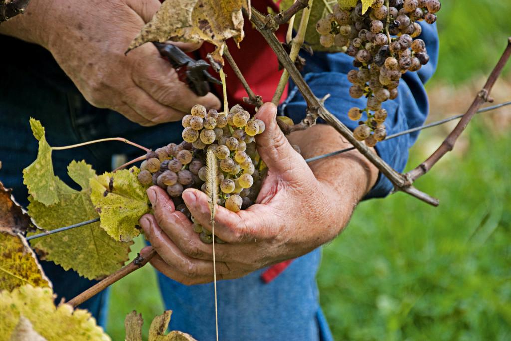 Беарн - очень популярен своим местным вином жюрансон.