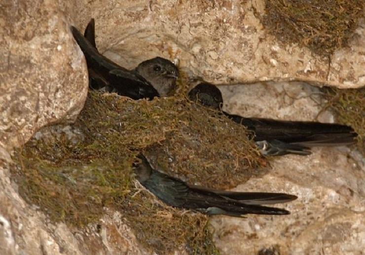 Гнезда саланганов. Фото: zooschool.ru