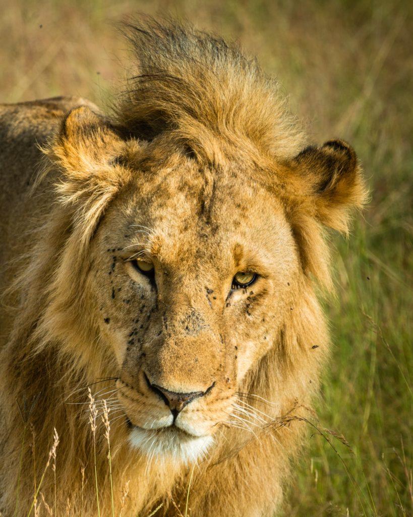 Масаи-Мара, лев