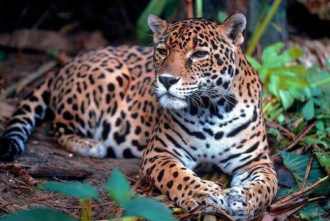 Ягуары вернулись в джунгли Гватемалы