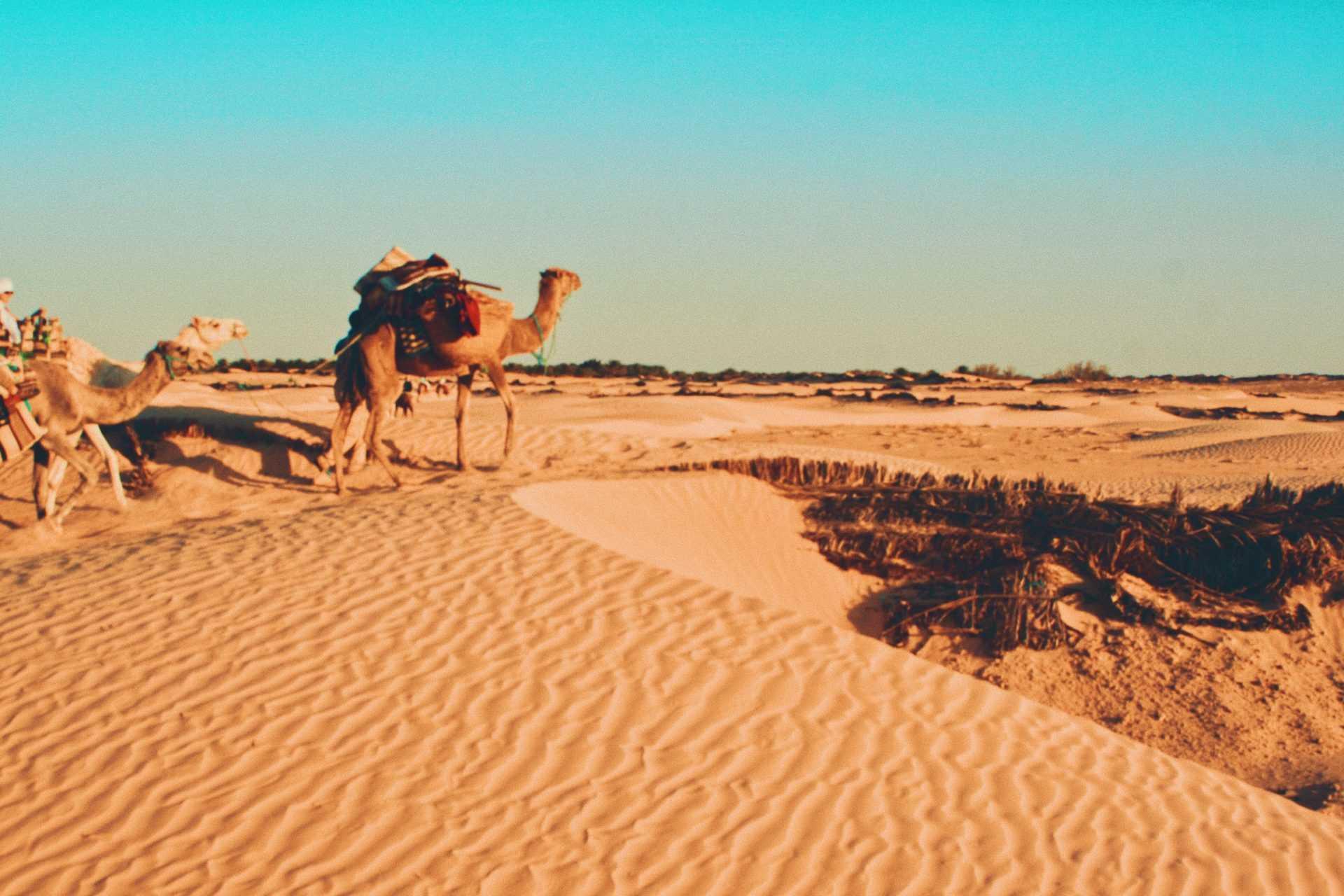 Верблюд в пустыне, Тунис - страны ослабляют карантин