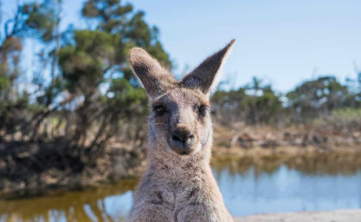 В Австралии кенгуру не стесняются и прогуливаются по улицам города