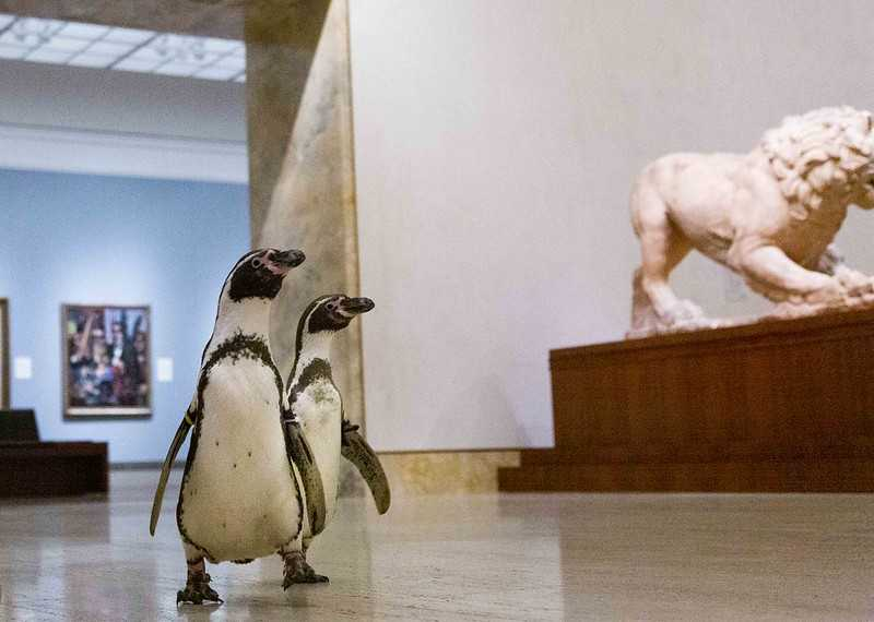 Видео дня: пингвины из зоопарка Канзас-Сити сходили в музей