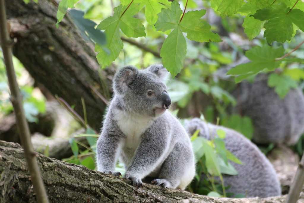 В Австралии впервые после пожаров родилась коала