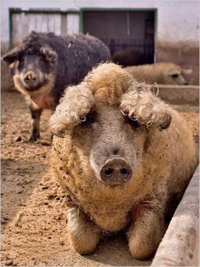 Мангалица - пуховая свинья