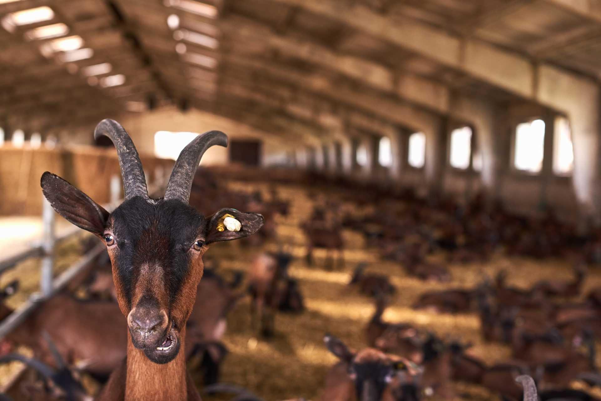 Мукко сыроварня в Карпатах