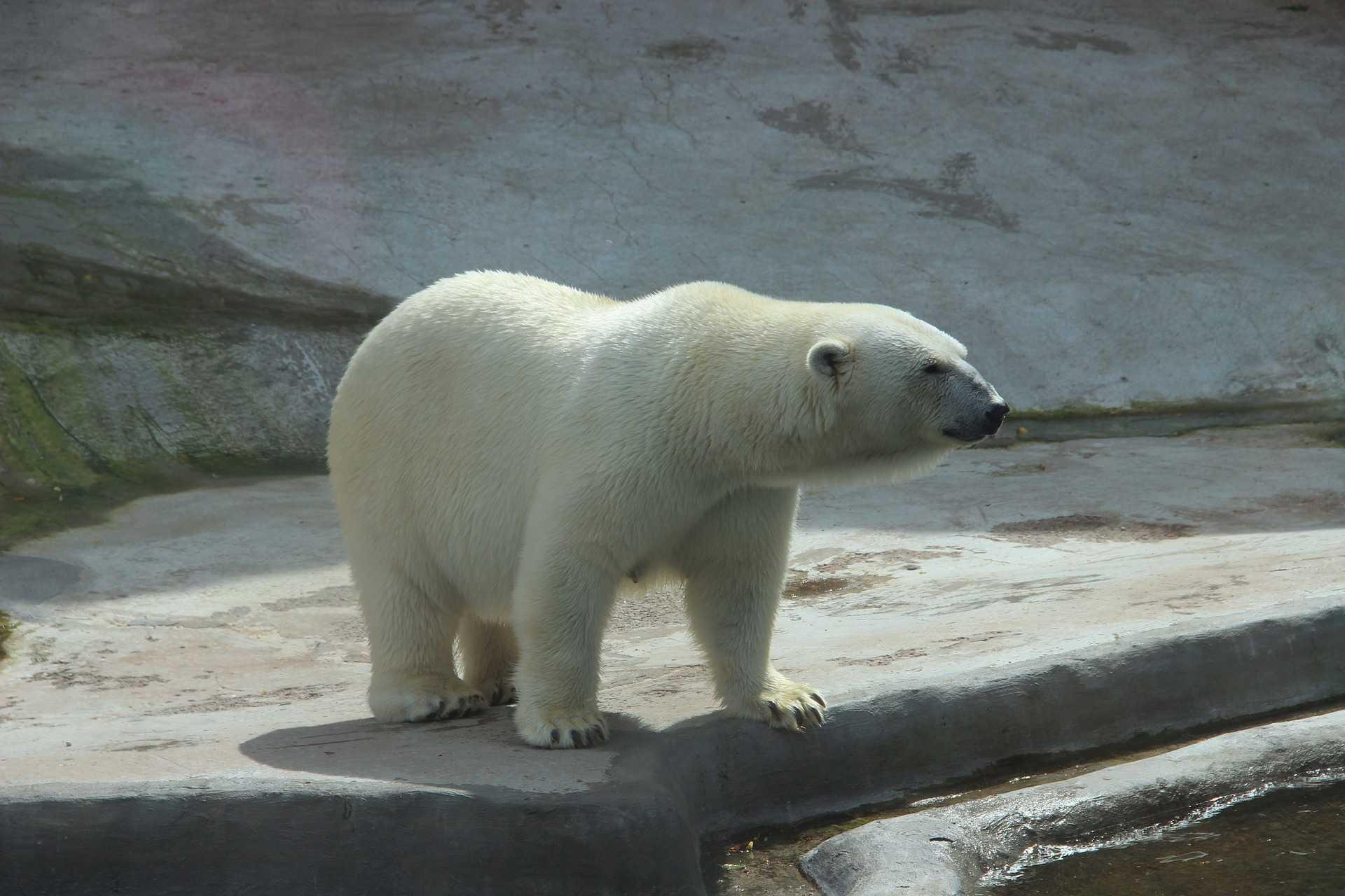 Белые медведи исчезнут к 2100 году