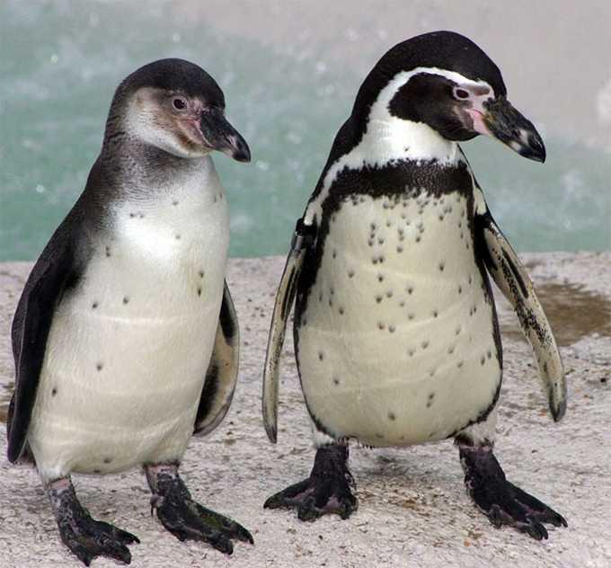 Пингвинам британского зоопарка подарили генератор мыльных пузырей