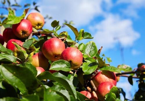 «Весь сбор яблок производится вручную. Это гарантирует качество», - обьясняет мастер.