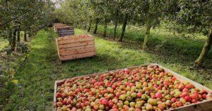 На 30 гектарах садов растут высокие и низкие яблони